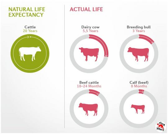 Cattle life expectancy